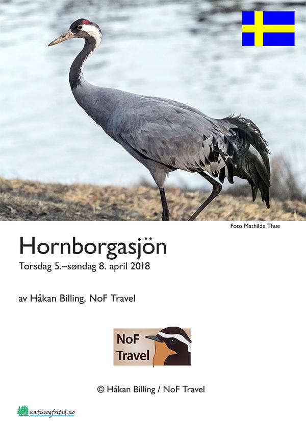 Tranedans ved Hornborgasjön
