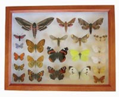 Insektkasse med sommerfugler