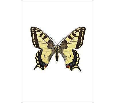 Svalestjert, Papilio machaon